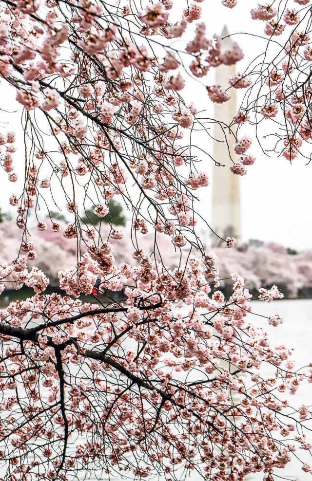 DC Cherry Blossoms National Memorial