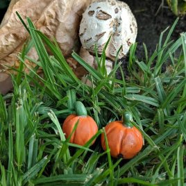 Harvest Pumpkins Set of 2