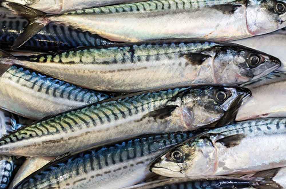 Mackerel stock in good shape