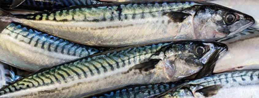 Mackerel stock in good shape