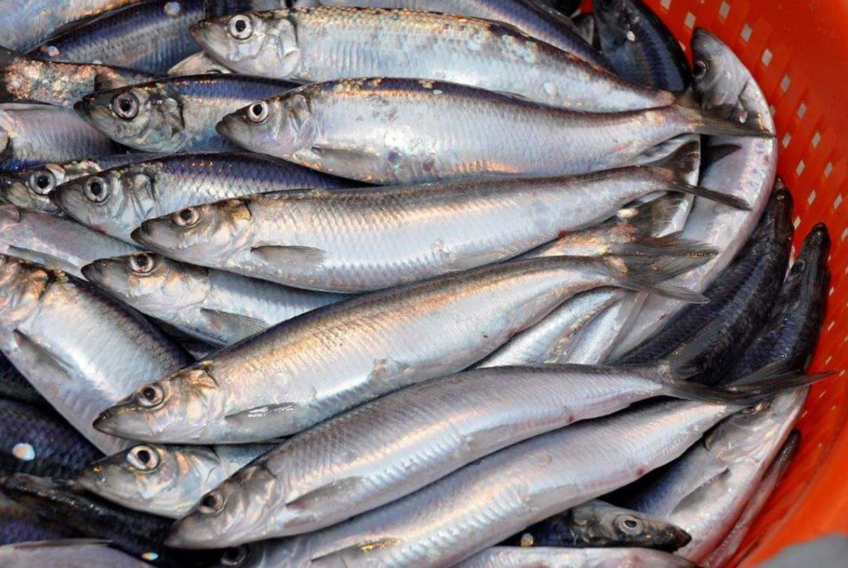 New drug derived from herring prevents heart disease