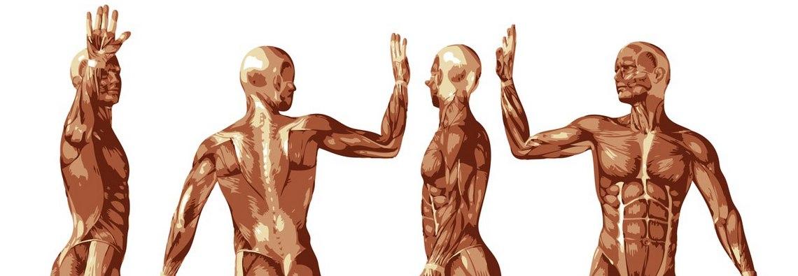 spieren-menselijklichaam