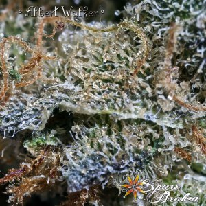Albert Walker - Cannabis Macro Photography by Spurs Broken (Robert R. Sanders)