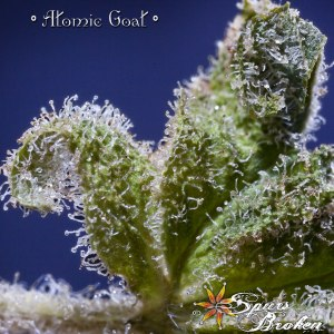Atomic Goat - Cannabis Macro Photography by Spurs Broken (Robert R. Sanders)