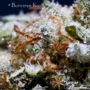 Burmese Kush - Cannabis Macro Photography by Spurs Broken (Robert R. Sanders)