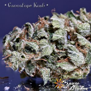 Cannalope Kush - Cannabis Macro Photography by Spurs Broken (Robert R. Sanders)