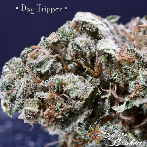 Day Tripper - Cannabis Macro Photography by Spurs Broken (Robert R. Sanders)