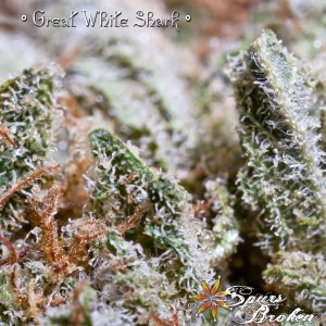 Great White Shark -Cannabis Macro Photography by Spurs Broken (Robert R. Sanders)