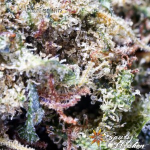 Harlequin -Cannabis Macro Photography by Spurs Broken (Robert R. Sanders)