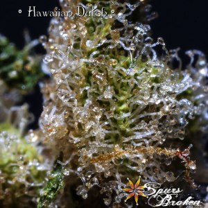 Hawaiian Dutch -Cannabis Macro Photography by Spurs Broken (Robert R. Sanders)