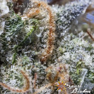 Jedi Kush - Cannabis Macro Photography by Spurs Broken (Robert R. Sanders)