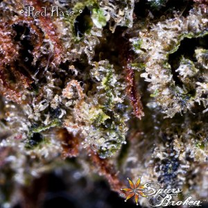 Red Haze - Cannabis Macro Photography by Spurs Broken (Robert R. Sanders)