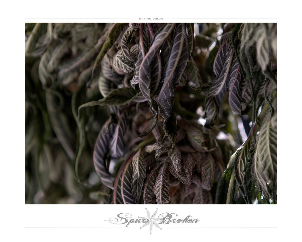 Drying Colas