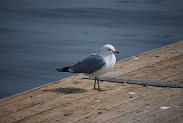 Ring-billed Gull photo © Steven P. Wickstrom