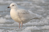 Iceland Gull photo © Wikipedia/Wikicommons