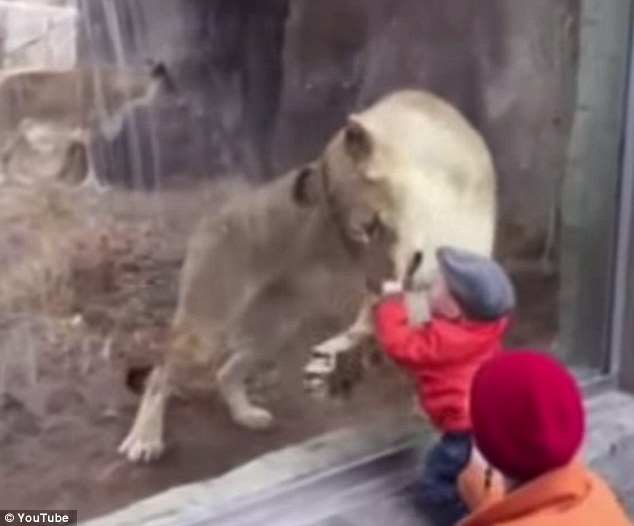 The space between: The video shows a lioness at the zoo clawing at the glass and trying to get its jaws around a toddler's head, all while only inches from the child's face