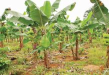 plantain business in nigeria