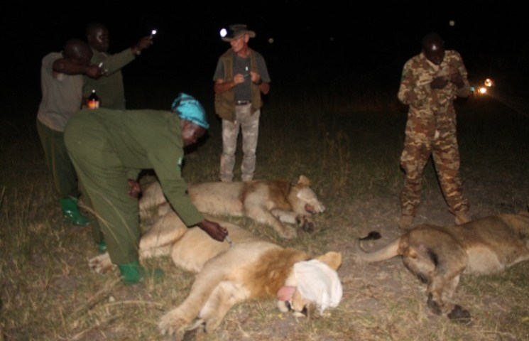 UWA Captures Three 'Killer' Lions In Deadly Rescue Mission
