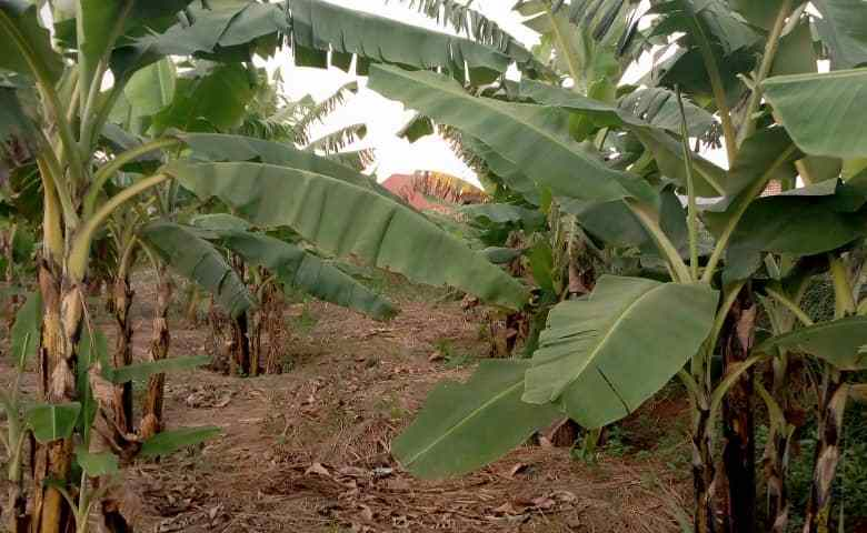 Innovation In Agriculture: East Africa's Scientists Introduce New Banana Varieties That Resist Disease & Drought