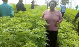 Gov't To Bag Shs600Bn In Marijuana Deal