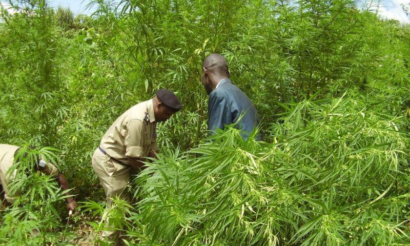 Hima Locals Reject Gov't Marijuana Deal