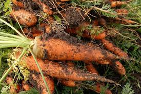 Farmers' Guide With Joseph Mugenyi: Tips On How To Grow Carrots
