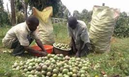 Farmers Guide With Joseph Mugenyi: Tips On How To Grow Passion Fruits