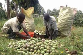 Farmers' Guide With Joseph Mugenyi: Tips On How To Grow Passion Fruits