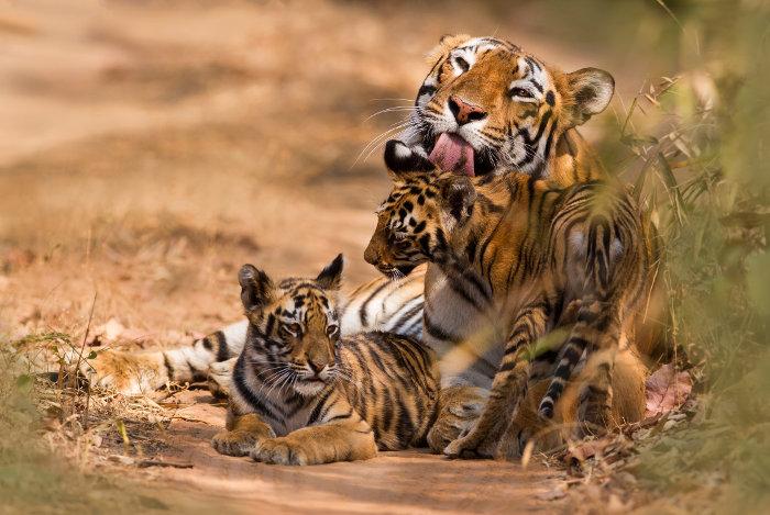 Tourism At Peak! Uganda To Mint Billions As UWEC Imports Rare Giant Tigers