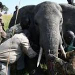 Grief As Elephants Kill Ranger In Murchison Falls Park