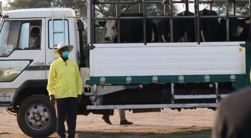 Well Done: Kasese NRM Leaders Gift Museveni With Full Truck Of Cows For His Effective Leadership