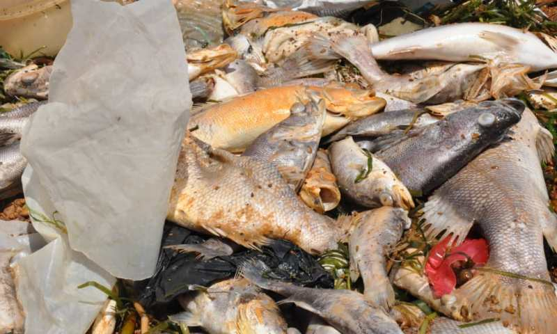 Not Poison! Secrets Behind Massive Fish Deaths In L.Victoria Revealed