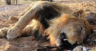 UWA Fronts UGX10 Million Reward For Any Information About Queen Elizabeth Lion Killers