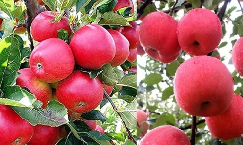 Apple Planting: Here Is How To Boost Your Income Through Apple Farming