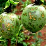 Farmer's Guide: Why Does Passion Fruit Rot On Plant?