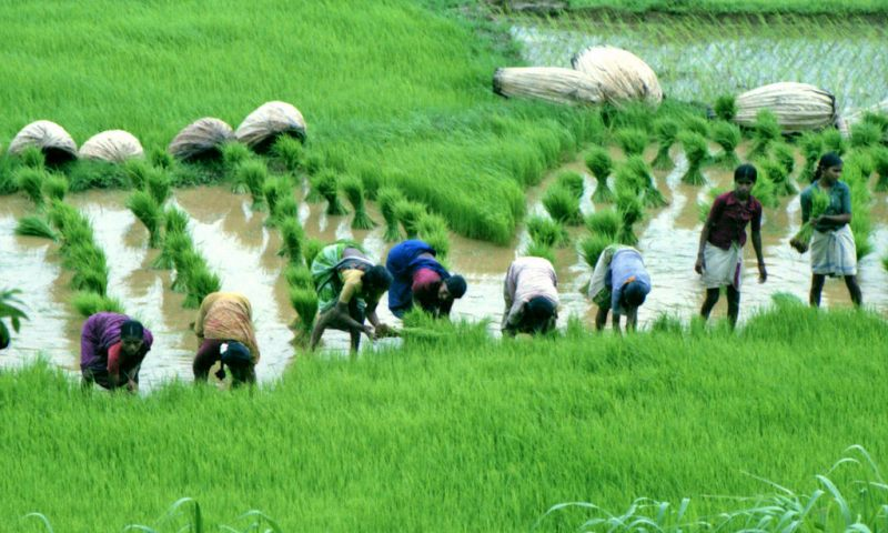 Famer's Guide: Drip Irrigation Can Reduce The Vast Footprint Of Rice Cultivation