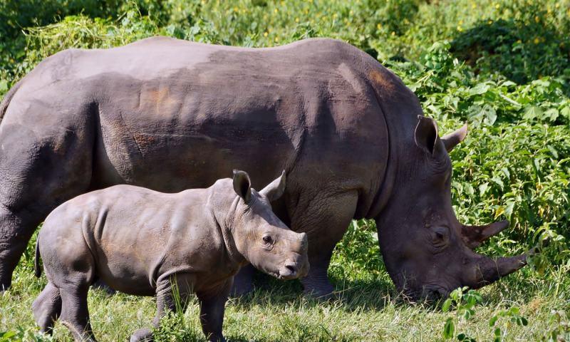 World Rhino Day: Uganda Spearheads Species Comeback