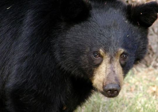 https://i0.wp.com/www.squamishreporter.com/wp-content/uploads/2021/06/bear.jpg?fit=540%2C384&ssl=1