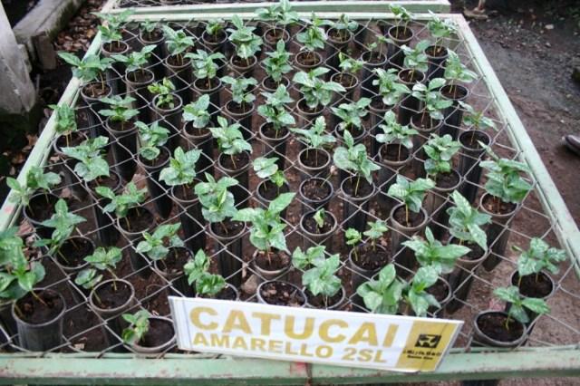 Yellow Catucai seedlings