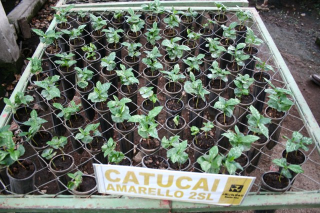 Yellow Catucai seedlings