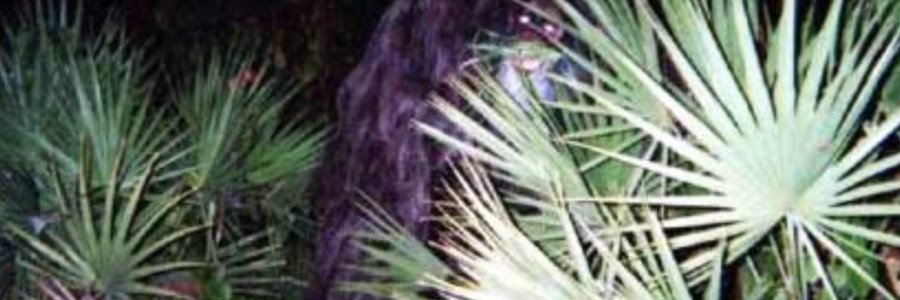 Florida Skunk Ape photos - Bigfoot.