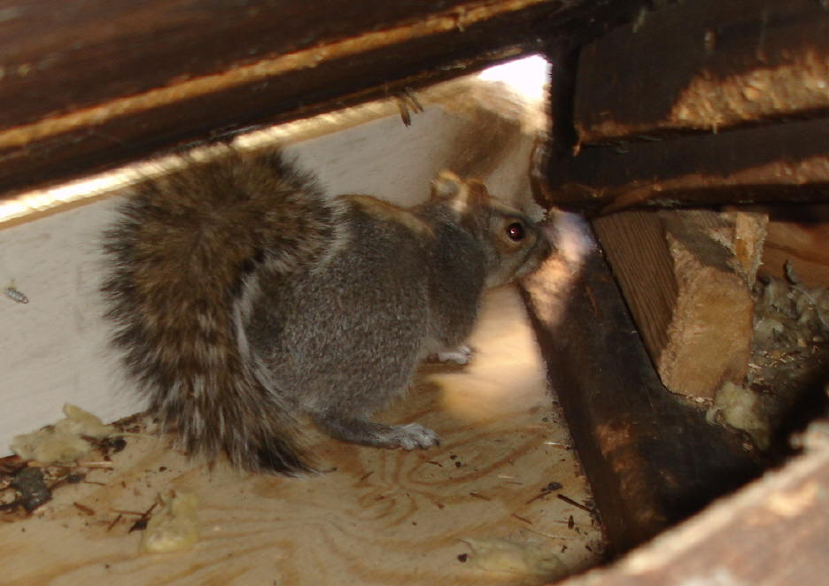 Can Squirrels Damage Home Wiring Can Circuit Diagrams