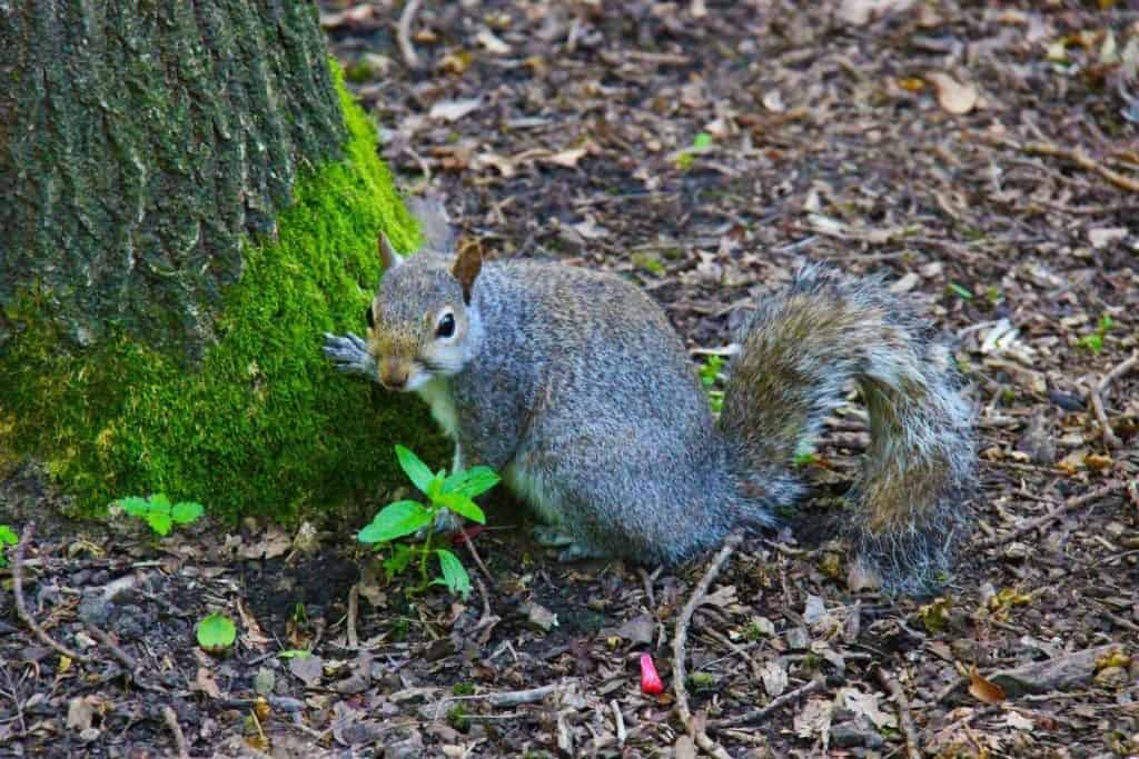 types of squirrels the