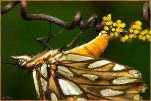 Reproducció papallones
