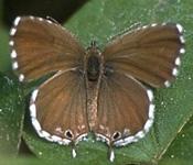 Cacyreus marshallii