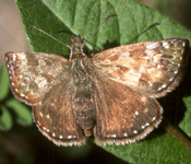 Erynnis_tages