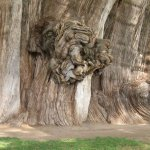 Drvo Tule