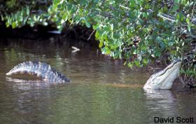 bellowing gator