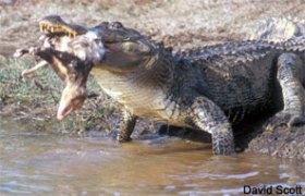 alligator eating an opossum