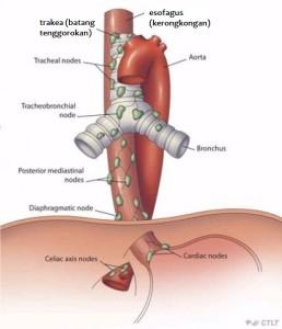 Perbedaan esofagus dan Trakea  Biologi  Sridianticom